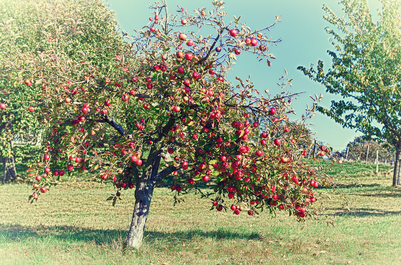 Apple Tree lost in an Orchard