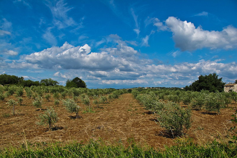 Olive field - Issirac France
