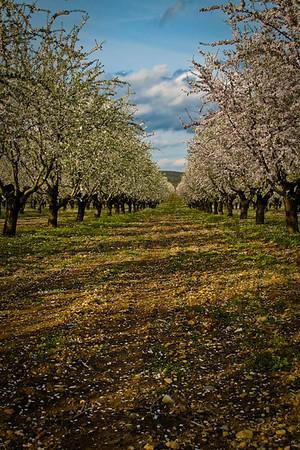 Almond Fields