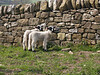 Lambs in Eyam