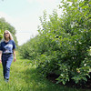 Lori Wiley, pictured, and her husband Kevin have launched a mission to save the Pearl Hill Road orchard. A developer recently brought the property for $100,000. Lori walks down the right of way in the orchard on Friday afternoon.  SENTINEL & ENTERPRISE/JOHN LOVE