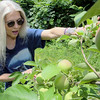 Lori Wiley, pictured, and her husband Kevin have launched a mission to save the Pearl Hill Road orchard. A developer recently brought the property for $100,000. Lori looks over the apples that are growing in the orchard. She said they where MacIntosh. SENTINEL & ENTERPRISE/JOHN LOVE