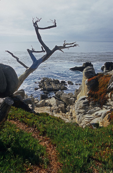 California Cypress at Pebble Beach