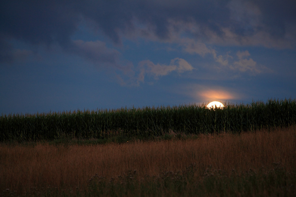 Summer moon cresting the corn.