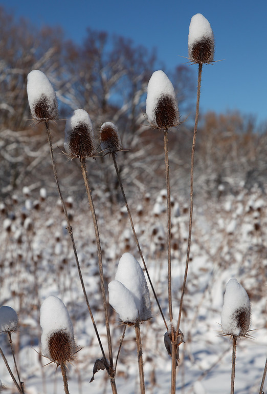 Snow caps on teasel (Dipsacus sp.) in the bright morning sun after a heavy March snowstorm.