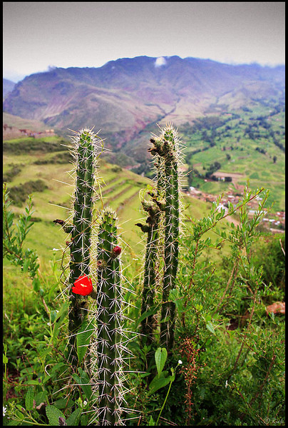 Cactus Flower and Pisac Ruins