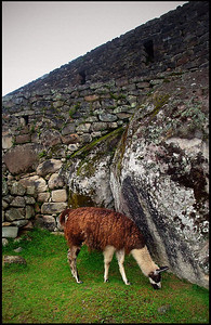 Llama Roaming at Machu Picchu