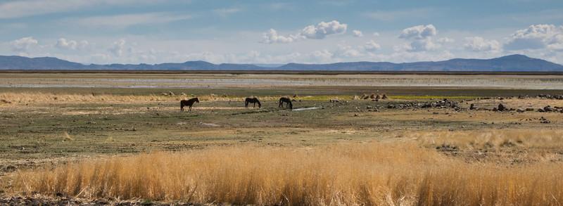 Horses on the Antiplano