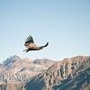 The Dance of the Condors, Cruz del Condor, Colca canyon, Peru