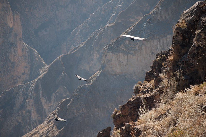 The Dance of the Condors, Cruz del Condor, Colca canyon, Peru
