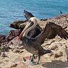 Pelican in Paracas National Park Reserve, Pisco, Peru