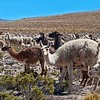 Alpacas and Lamas in the Andes Mountains in Peru