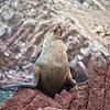 Sea lions rookery on Ballestas islands in Paracas national park, Peru