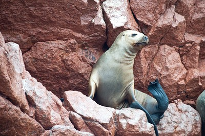 Sea lions rookery on Ballestas islands in Paracas national park, Peru