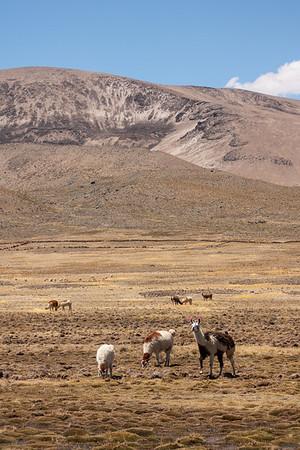 Llamas on the Antiplano
