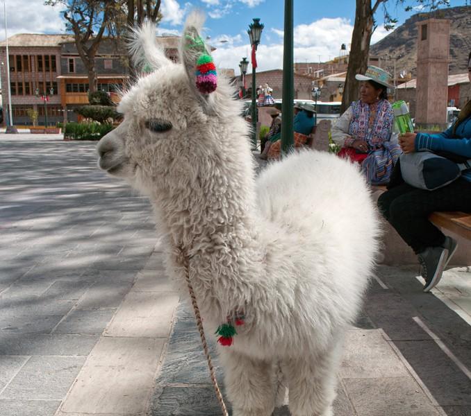 Bebe alpaca in Chivay, Colca, Peru