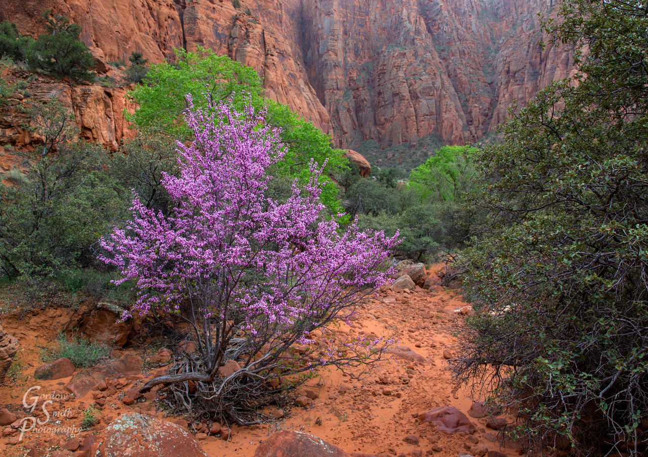 Tree with purple blossoms in Hell Hole Canyon, Utah