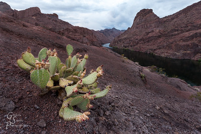 Cactus and Colorado River