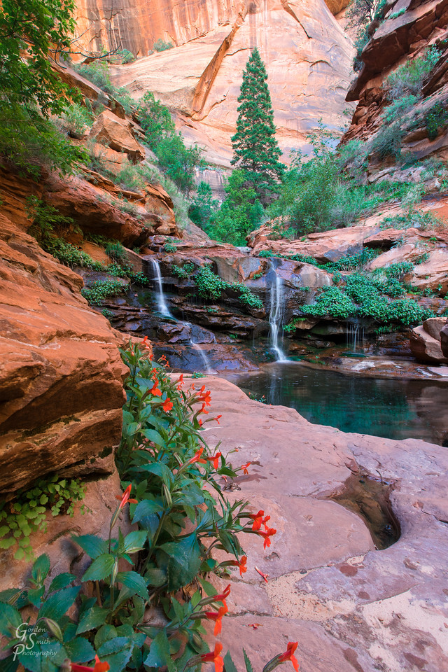 Landscape photography in Zion Right Fork North Creek with pines trees and flowers and waterfall