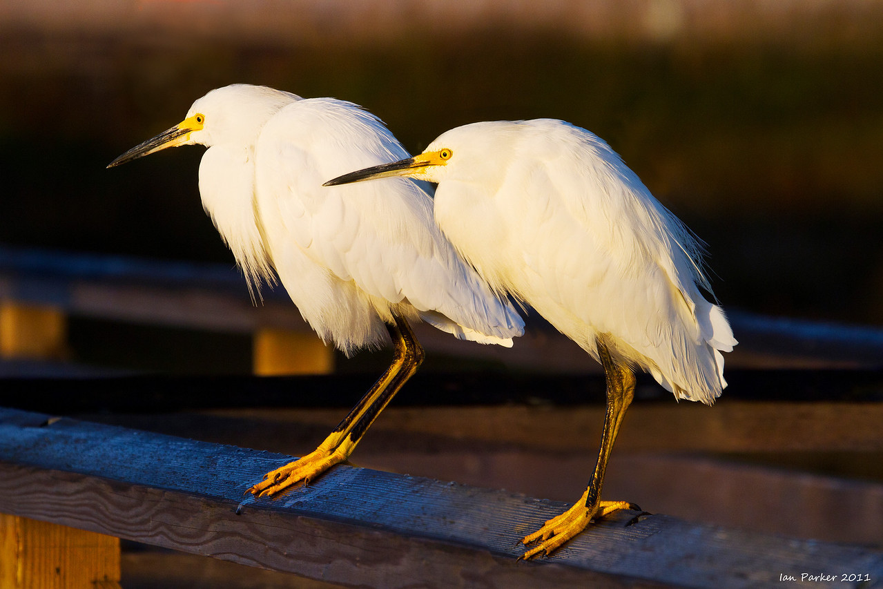 Two snowy egrets: Bolsa Chica, California