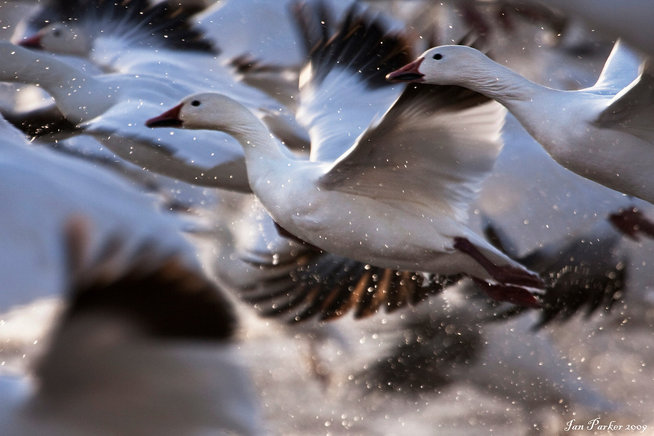 Snow goose blast-off: Bosque del Apache NWR, New Mexico