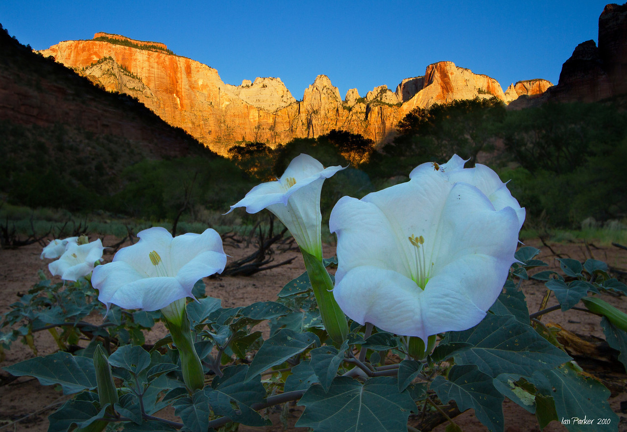 Datura before the Towers of the Virgin: Zion National Park, Utah