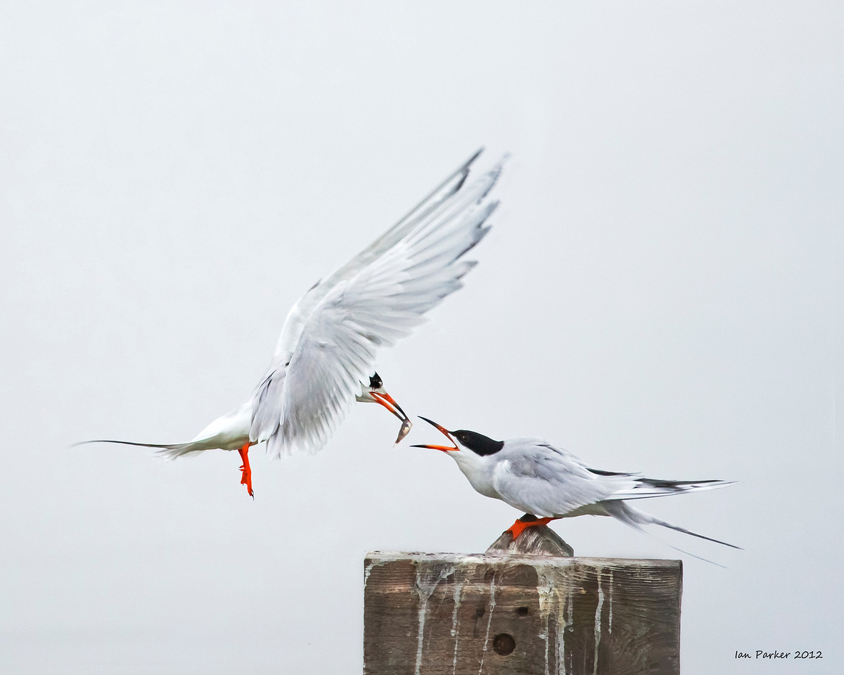 Courting terns: Bolsa Chica, California