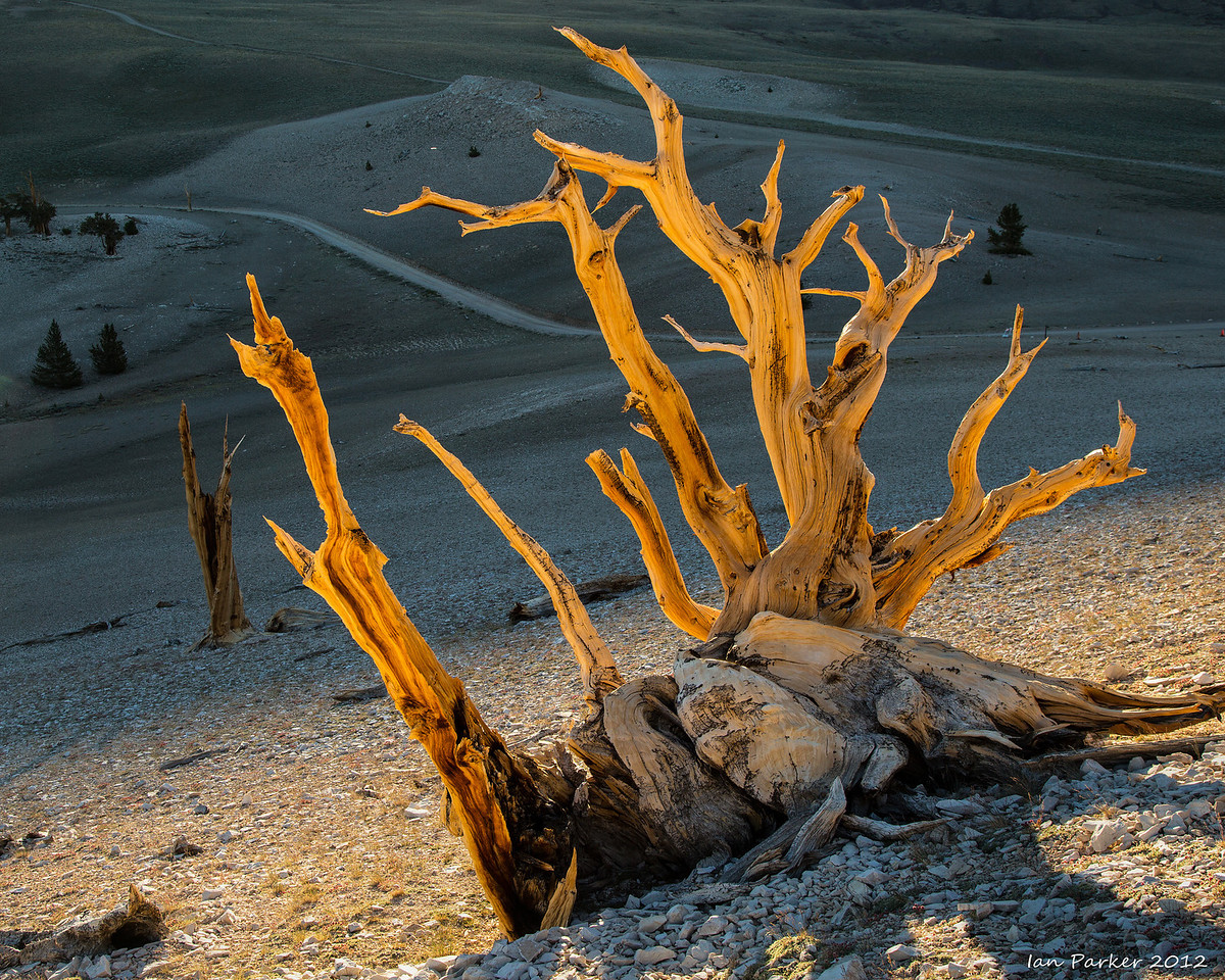 Backlit bristlecone: Ancient Bristlecone Pine Forest, White Mountains, California