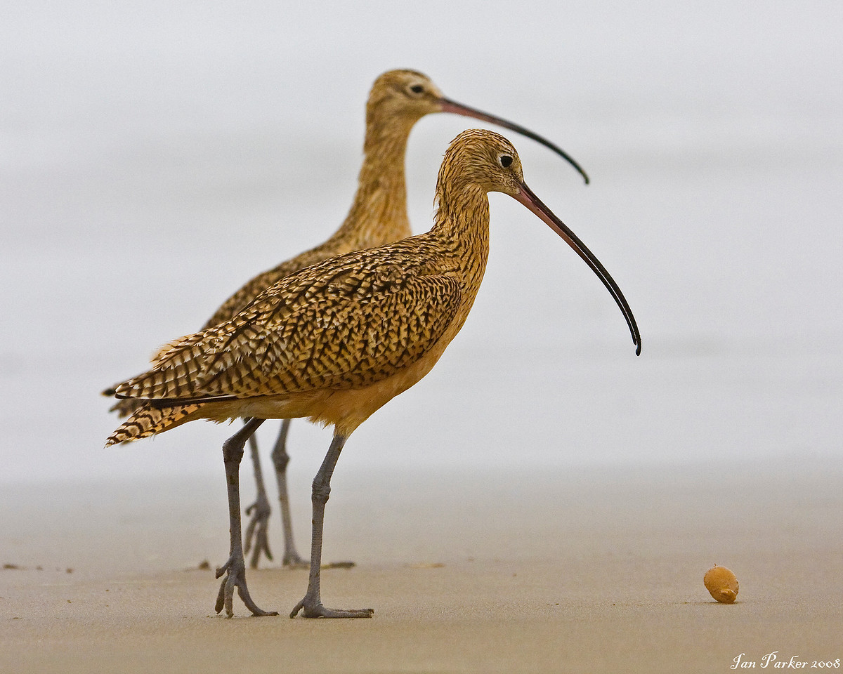 Two long-billed curlew: Morro Strand, California