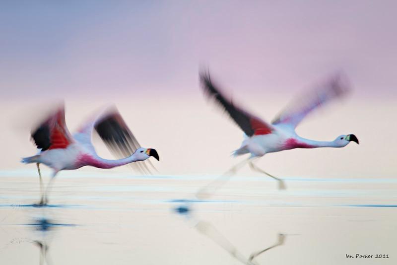 Flamingo takeoff: Laguna Chaxa, Atacama Desert, Chile