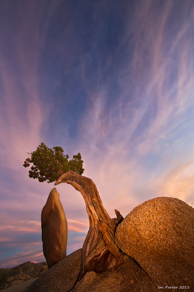 Tree and granite monolith: Joshua Tree National Park, California
