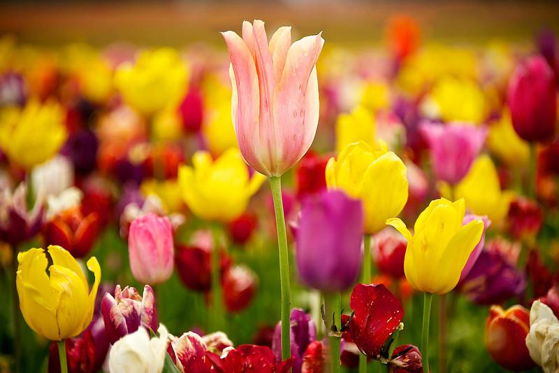 Standout tulip