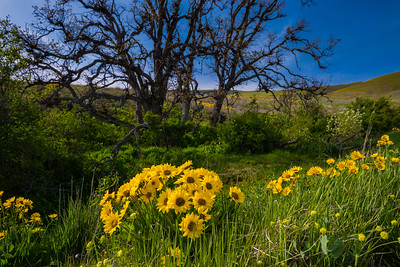 Columbia Hills Spring Flowers