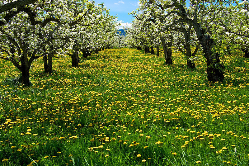 Spring Apple Blossoms in Hood River