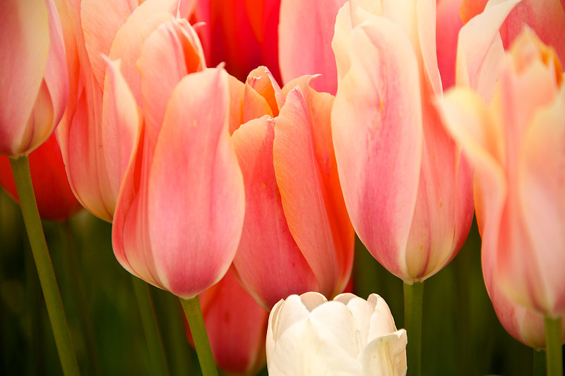 Tulip winner