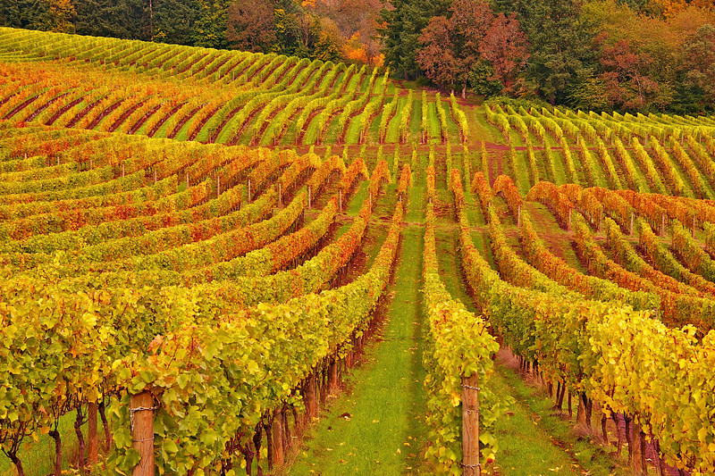 Fall in the Vineyard