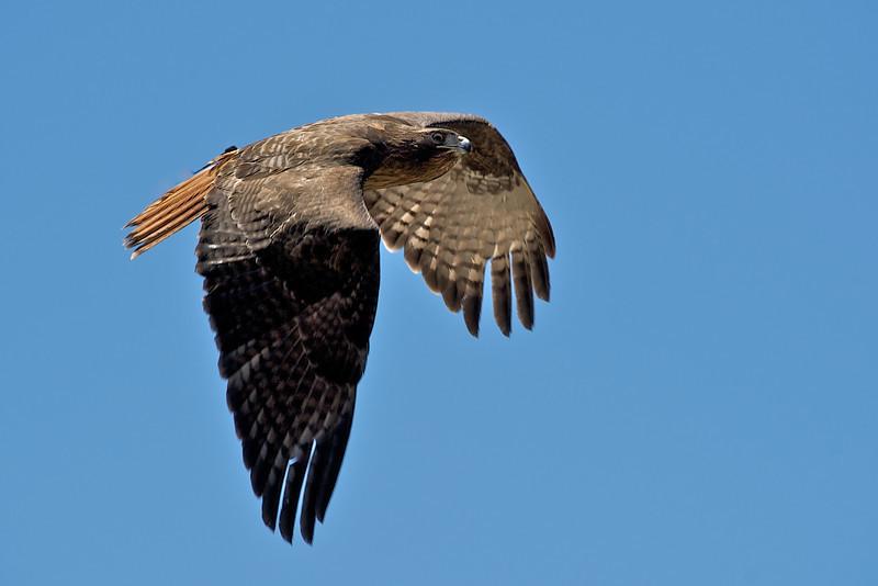 Hawk in flight 1