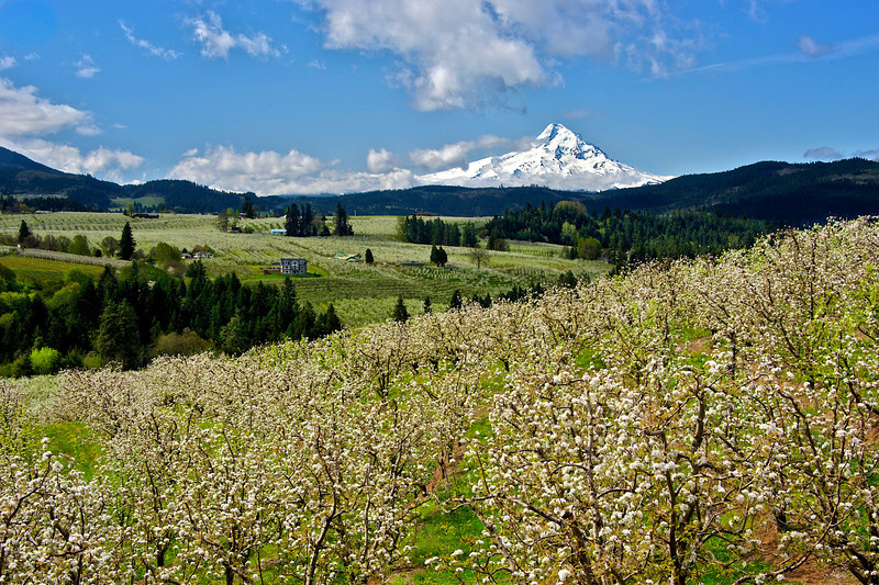 Hood River Apple Blossoms