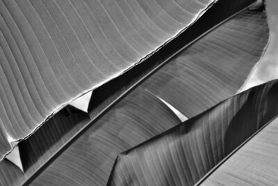 Banana plant abstract, Pine Street School