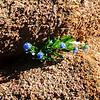 Tenacious flower pioneer