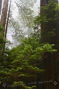Redwoods in the Fog ~ According to all accounts, this has been a very foggy summer on the northern California coast.  My recent visit seemed to prove this, as each morning was heavily foggy.  This is a shot of the redwoods in the fog at Prairie Creek State Park.  I loved the lacy effect of the needles in the fog.