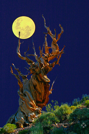 Reaching For the Moon  (Ancient Bristlecone Forest, White Mountains, CA)