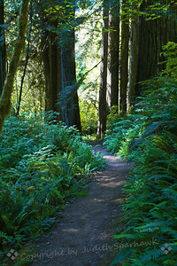 Walk Among the Trees ~ On a recent trip to northern California, I stopped at Prairie Creek State Park.  This was a lovely trail among the redwoods, amid ferns and other lush plants.