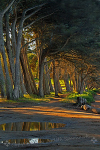 Cypress Grove in the Morning Light ~ This grove of cypress trees runs along the beach on Morro Bay.  I have photographed this grove before in the fog, but had never seen it in the early sun, reflected in puddles.  It was a completely different sight, which I liked a lot.