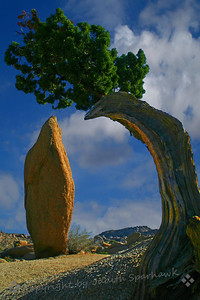Juniper at Jumbo Rocks ~ I spent most of the day at Joshua Tree National Park, hiking and birding, camera in hand.  My favorite area is Jumbo Rocks, and I have long been intrigued by the relationship between this Juniper and the obelisk-shaped rock, atop huge rocks at this campground.  I have enjoyed photographing many aspects of the connection between the two.