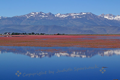 Bridgeport Lake with Flowers ~ Much of this large lake was covered with pink flowers.  Getting a better view, they turned out to be Water Smart Weed, which I had never heard of before.  In this shot, I liked the reflection of the snow-spotted mountains, with the little town of Bridgeport in the distance.