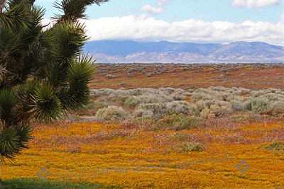 Joshua Tree with Wildflowers ~ This photo was taken in the Antelope Valley in California, near the California Poppy Preserve.  The ground all around the Joshua Tree was blanketed with yellow flowers, with a few poppies mixed in.