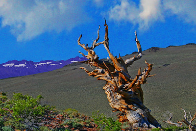 Bristlecone Over Palisades Glacier  (Ancient Bristlecone Forest, White Mountains, CA)