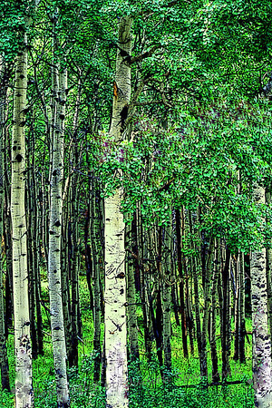 In the Forest  (Aspens, Rocky Mountian National Park)