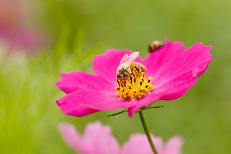 Bumblebee feeding on cosmos flower